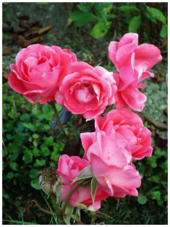 Rose_rosa
