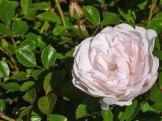 2015_07_01_Rose_17