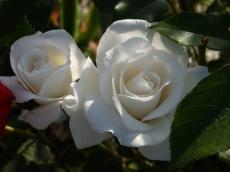 2015_07_05_Rose_2