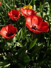 Tulpen 36